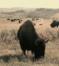buffalo-about